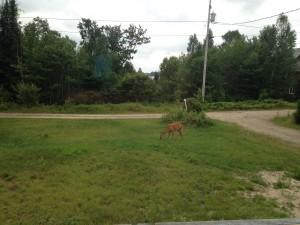 Deer at Warbler's Roost